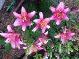 More Lilies!
