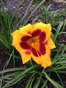 Blackeyed Susan Daylily.