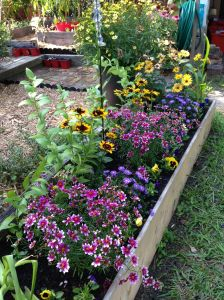 "Coreopsis ""Centre Stage,"" Dragon Aster, Rudbeckia ""Denver Daisy."""