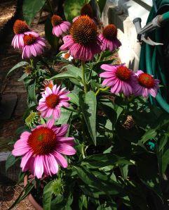 """Echinacea Pupurea """"Prarie Splendor."""""""