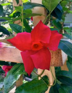 The Mandevilla has reached the top of the obelisk and is covered in beautiful crimson flowers.