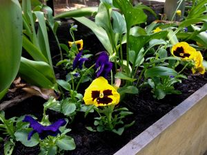 Happy pansies!