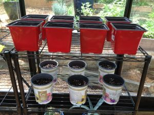 Sunflower seeds germinating in the greenhouse.