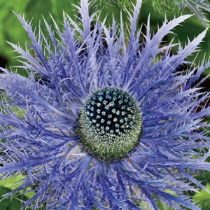 Blue Sea Holly (Eryngium zabelii) This is a good plant for hard to grow areas, which I have plenty!