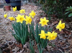 Daffodils in the garden,