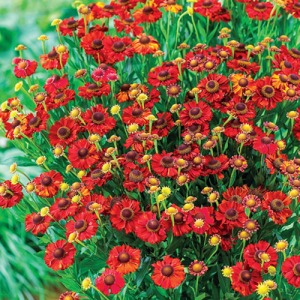Helenium Hot Lava (photo from Breck's).