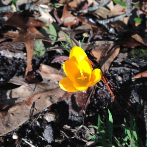 Yellow Crocus.