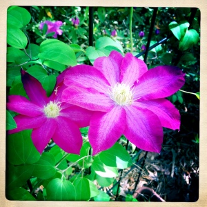 A vibrant clematis.