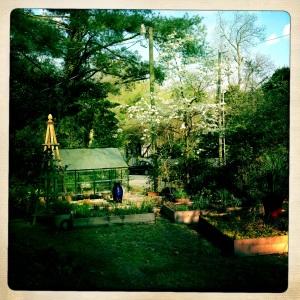 Dogwood tree in bloom.