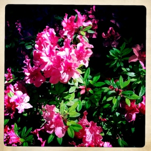 A dwarf pink azalea out front.