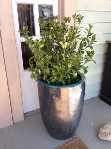 One of two new pots on either side of the front door with gardenia.