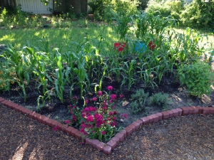 Corn bed in the potager.