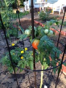 Tomato.