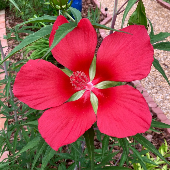 crimson_star_hibiscus