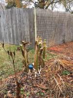 banana tree prep1